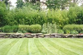 bamboo ornamental grasses landscaping beautiful ornamental
