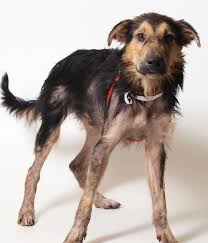 australian shepherd los angeles rescue franklin county dog shelter u0026 adoption center airedale dogs for