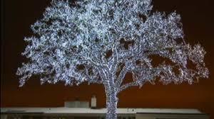 spectacular lit up oak tree could soon go wcco cbs minnesota