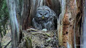 all about owls with expert denver holt live tuesday explore