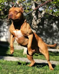 land of giants american pitbull terriers how to build muscle in dogs