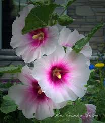 hollyhock flowers growing hollyhocks in a country garden is easy and rewarding