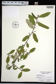 plants native to alabama elaeagnus pungens species page apa alabama plant atlas