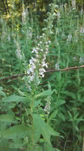 plants native to arkansas growing wild mint
