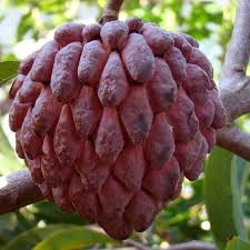apple red custard apple red grafted fruit plants tree exotic space