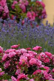 73 best lavender gardens images on pinterest lavender garden