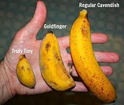 tiny banana seeds super dwarf banana cultivar truly tiny edible banana musa