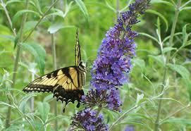 butterfly flower impressive butterfly flower garden flowers for a butterfly garden