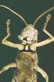 351 best grasshopper u0026 crickets images on pinterest grasshoppers