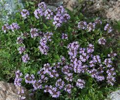 thym serpolet cuisine thym fleurs d été et de printemps le thym est couramment utilisé