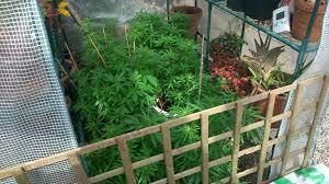 chambre de culture cannabis fait maison culture de cannabis en extérieur hors saison du growshop alchimia