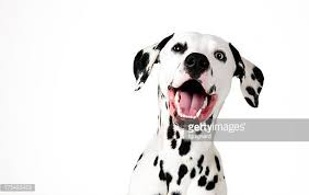 dalmatian dog stock photos pictures getty images