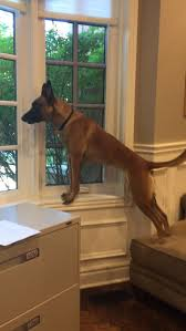 belgian shepherd health problems best 10 belgian malinois ideas on pinterest belgian malinois