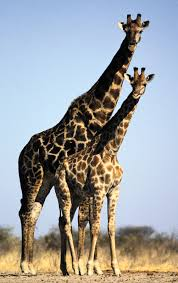 giraffe images collection 43