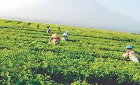 Teh Kayu Aro kayu aro kebun teh terluas di dunia balikpapan pos