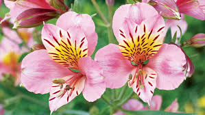 beautiful plants 15 favorite perennial flowers peruvian lilies perennials and plants