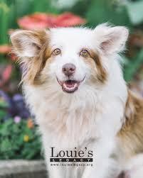 australian shepherd sheltie mix ginger female shetland sheepdog sheltie adoptable pets in ohio