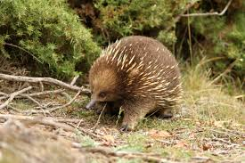the creature feature 10 fun facts about the echidna wired