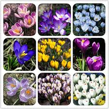 aliexpress com buy 800pc saffron seeds saffron flower seeds