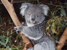 where to cuddle a koala in australia experience oz