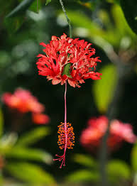 Japanese Lantern Plant Hibiscus Schizopetalus Coral Hibiscus Fringed Rosemallow