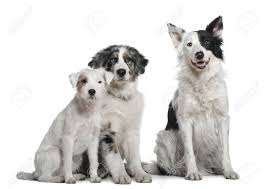 australian shepherd puppy 4 months border collie 4 years old parson russell terrier and australian