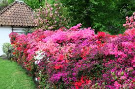 A Garden Of Flowers by Magnificent Display In Pinks And Reds Of Azaleas In A Garden
