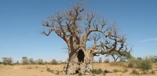 the tree of ilala lodge