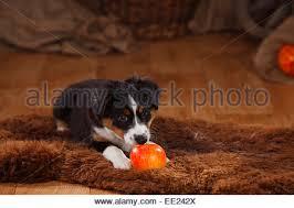 australian shepherd 5 wochen australian shepherd puppy 7 weeks black tri toy ball stock