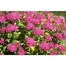 Flowering Shrubs For Partial Sun - part sun spiraea shrubs trees u0026 bushes the home depot