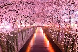 cherry blossom trees the beats in your that mirror the