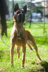 belgian shepherd health problems get belgian malinois leather muzzle