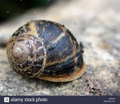 the family garden garden snail cornu aspersum a snail in the family helicidae