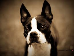 boston terrier boston terrier all small dogs wallpaper