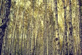 47 top selection of birch tree wallpaper