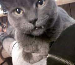 Diabetes Cat Meme - lost my vurr cat smokie this week to diabetes 14 years old and