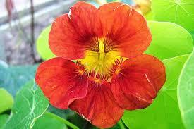 nasturtium flowers plants for kids nasturtium rhs gardening