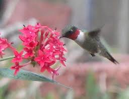 hummingbird migration nesting phenology