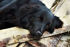 What Causes Dogs To Go Blind Disorder Due To Liver Disease In Dogs Symptoms Causes