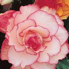 begonia flower picotee begonias white k bourgondiens