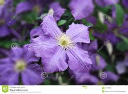 a climbing vine of purple clematis flowers stock photo image