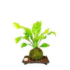 kokedama fern indoor house plant with a live moss ball and