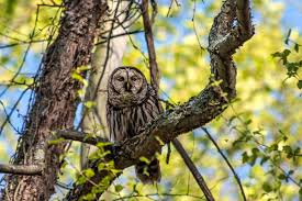 more barred owl images stephen l tabone nature photography