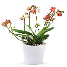 phalaenopsis orchid multiflora alice orange delivery in