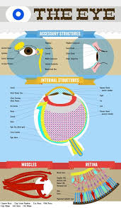 Eye Anatomy And Physiology Made This Eye Anatomy Chart As A U0027study Method U0027 For My Anatomy And