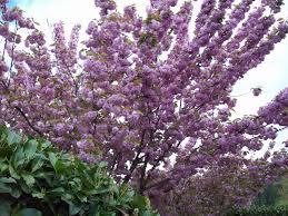 kwanzan flowering cherry rainyleaf