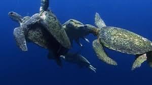 sea turtle mating melee world u0027s weirdest video nat geo wild