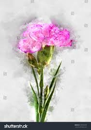 watercolor image pink carnation flower stock illustration