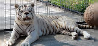 this white tiger was inbred in u s captivity and his condition