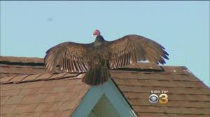 Delaware is it safe to travel to turkey images Vultures are taking over one neighborhood cbs philly jpg
